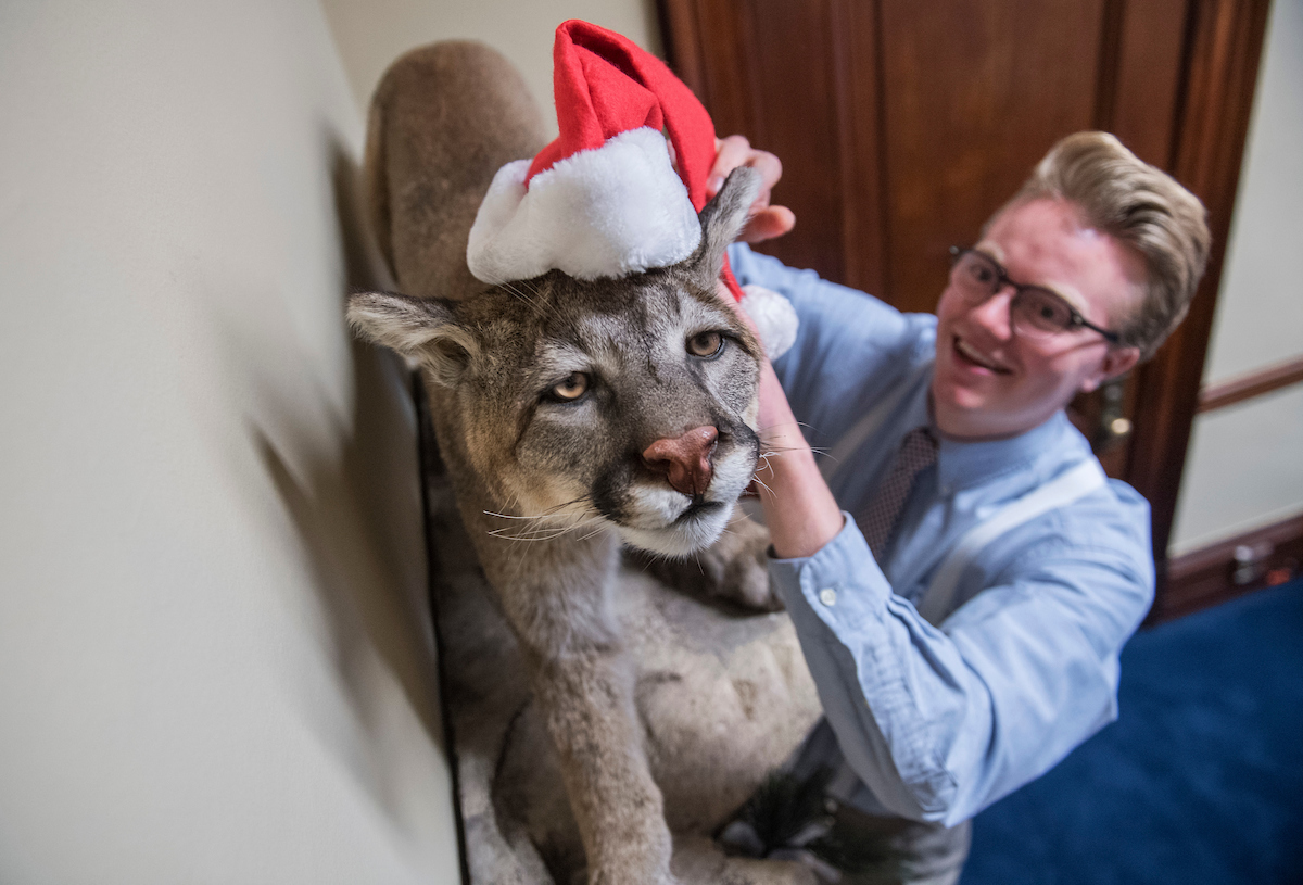 Ben Bergstrom, from the of Sen. John Hoeven, R-N.D., puts a Santa hat on a mountain lion on loan from North Dakota's Kenner Simmental Ranch, while decorating for Christmas in their Russell Building office, November 29, 2016. (Photo By Tom Williams/CQ Roll Call)