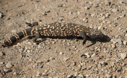 A Gila monster. (Bill Clark/CQ Roll Call File Photo)