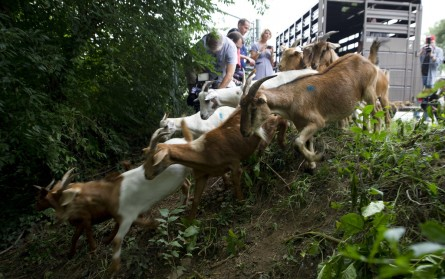 Release the goats! (Douglas Graham/CQ Roll Call)